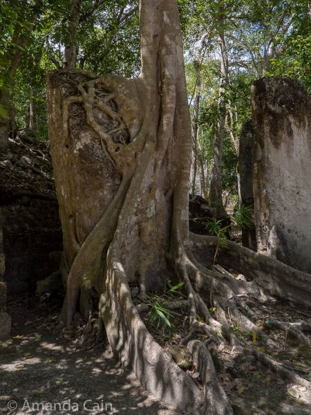 "A tree wrapped around a carved stone stela and trying to ""eat"" it."