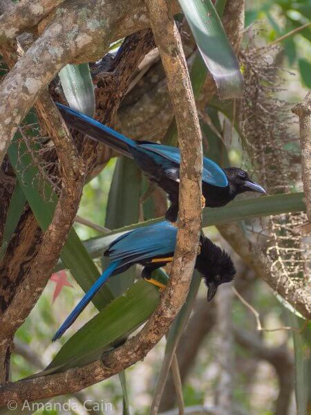 Yucatan jays hanging out around Edzna ruins.