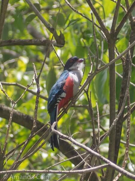 Cuba's national bird: the Cuban Trogon. You can see lots of them at El Nicho.