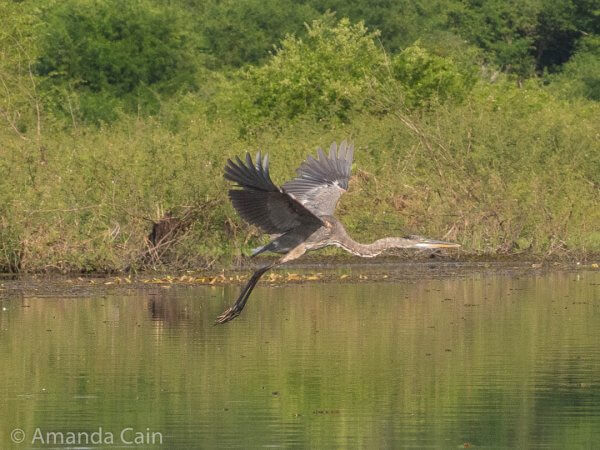 A great blue heron flying across the lagoon.