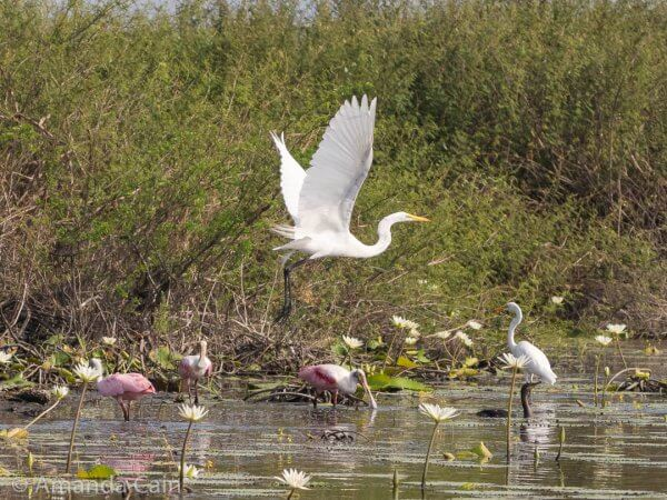 Great egrets and roseate spoonbills enjoying the lagoon.