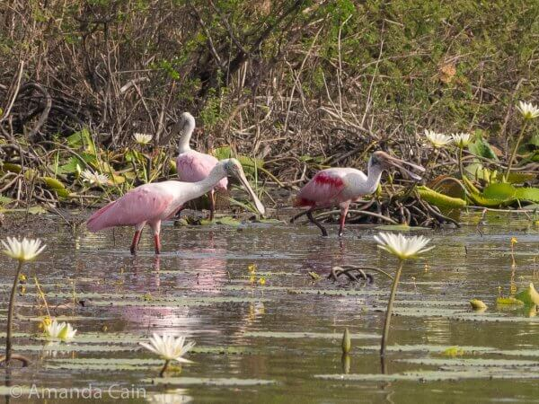 Roseate spoonbills have pretty colours, but they're a pretty goofy looking bird.