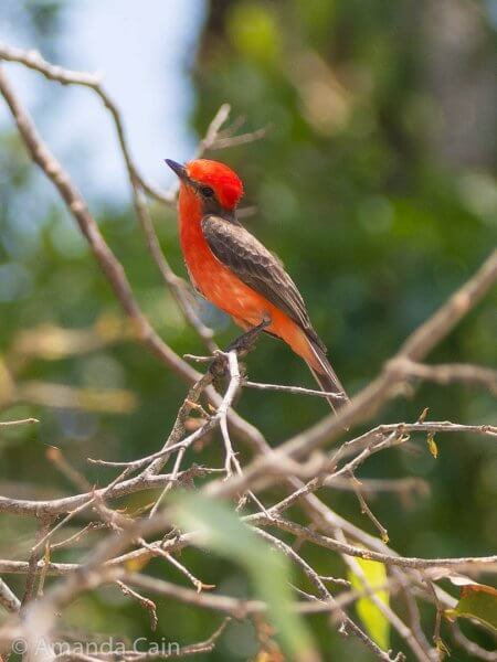 A vermillion flycatcher. You can see lots of these little birds zooming around all over the place catching flies.