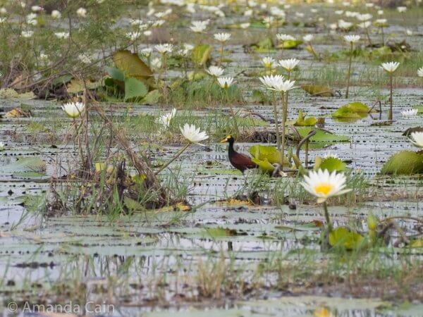A jacana (Jesus Christ bird) in a lagoon of water lillies. They get their name from the fact that they look like they can walk on water.
