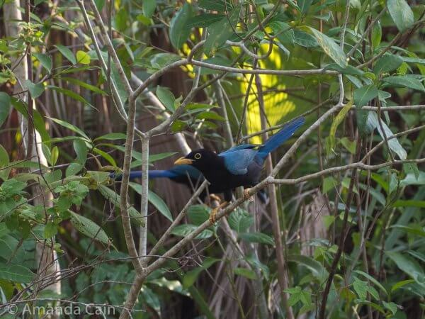 A yucatan jay getting up close to the intruders (us) to try and scare them away from the babies.