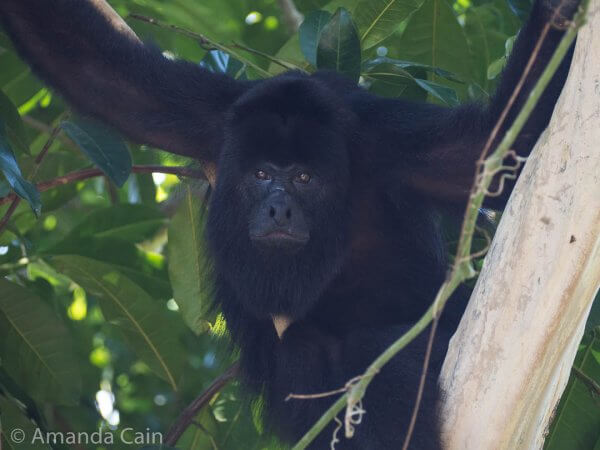One of the black howler monkeys hanging out next to the ruins at Lamanai.