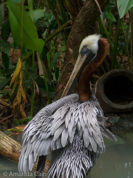This poor pelican injured his wing so badly that they had to amputate it. But he looks like he's doing well after getting a second chance at the zoo.