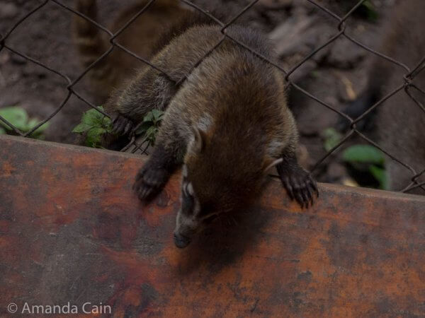 A baby coati trying to figure out how to climb through the fence.