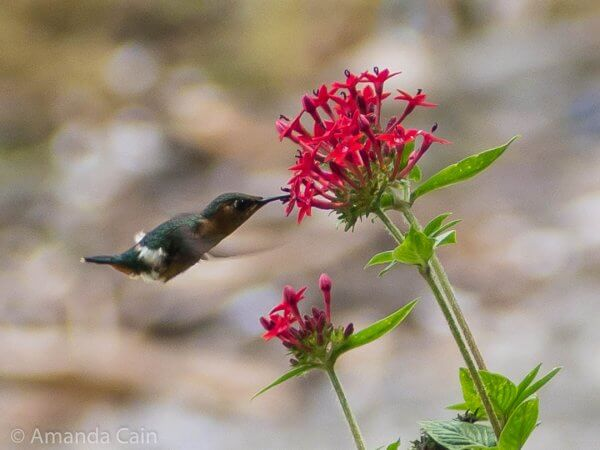 A tiny hummingbird at Lake Atitlan. The flowers are only half as wide as my thumb (which isn't very big), so this bird absolutely miniscule.