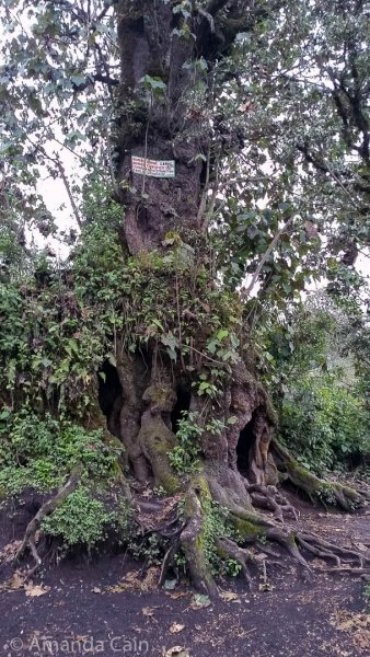 A canac tree in the cloud forest, it looks like something out of a fairy tale.
